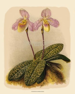 Cypripedium Marshallianum